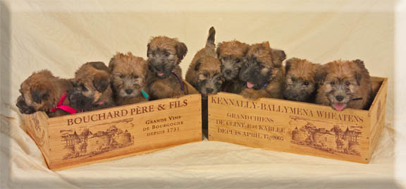 Litter of puppies in wine crates